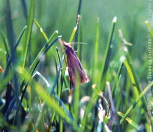 Lawn Moths are easy to see when they fly from your grass in a zig-zag flight pattern.