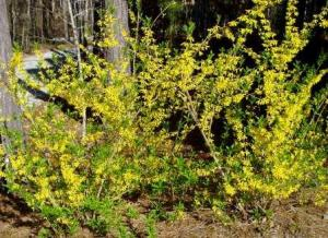 Apply crabgrass prevention before yellow blossoms fall from forsythia bushes.  Note:  After this very tough winter, your forsythia may not bloom as much as usual.  If that is the case, apply before you see lilacs bloom.