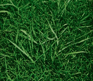 Quackgrass is often confused with Crabgrass
