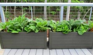 Spinach, Kale, Lettuce, Swiss Chard deck planters provide daily pickings for our salads.