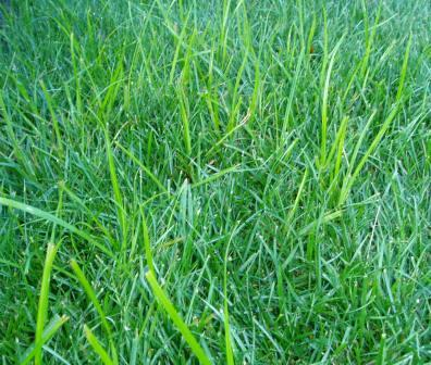 Kill That Bright Green Grassy Lawn Weed Called Nutsedge