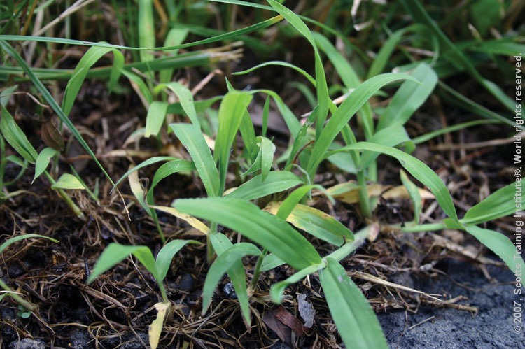 Natural Way To Kill Crabgrass In Lawns