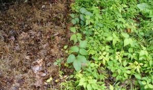 Stop Kudzu Poison Ivy And Wild Blackberry Dead In Their