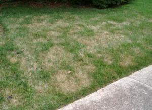 Are the brown spots following a particular pattern such as a circle?  Within the circle the problem may start with some of the grass blades turning brown with spots on them.  There are a range of lawn fungus problems like dollar spot, brown patch, red thread and summer patch that show up as circular patches in your lawn.  These problems can crop up when you are getting higher temps during day and night and more rain and humidity.  Solution:  Treat your lawn with Scotts Lawn Fungus Control.