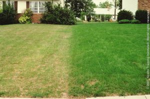 Chinchbugs are attacking the lawn on the left while the lawn on the right is protected.  If left untreated the lawn on the left will need to be replanted.