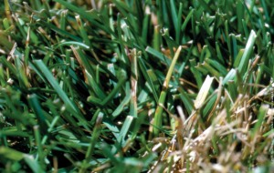 What Does Grass Fungus Disease Look Like Tips And
