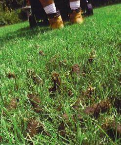 Oh, here's some good news:  after aerating, you can leave the plugs on your lawn.