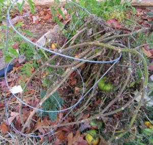 Remove old tomato plants from your garden in fall to minimize disease and insect problems next year.