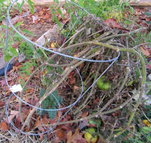 Old Tomato Plant