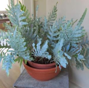 Rita grew this fern from a tiny plant in two years.