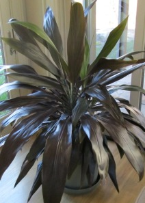 This Dracaena has been a very fast grower.  In two years it has grown from 1 foot tall to 4 feet now.