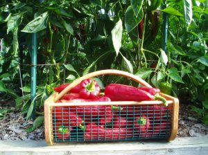 "Check out our harvest of Carmen Seet Peppers - An ""All America Selection"" from 2006"