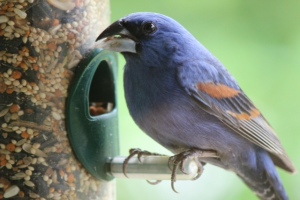 We saw a big difference in the quality of our birds (such as this Blue Grosbeak) when we started filling our feeders with better bird food (click here to learn more).