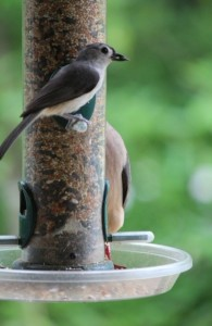 Tufted Titmouse and Mourning Dove