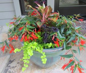 This year we planted a single Red Aglaonema (Chinese Evergreen) in the center.  We then surrounded it with 2 'Goldi' Lysimachia (Creeping Jenny), 2 'Bonfire' Begonia and 2 'Black Dragon' Coleus.
