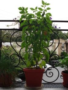 Our daughter's pepper plant with several herb pots on her third floor condo balcony.