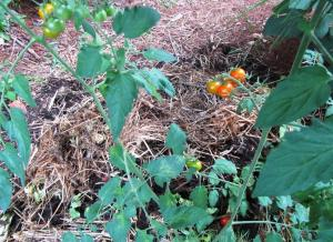 It is exciting to pick tomatoes from the plant growing out of our compost pile.