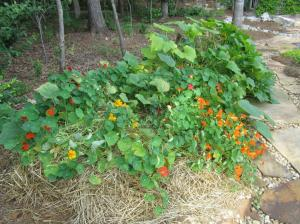 We planted cucumber and squash seeds in the center of the beds surrounded by nasturtium seeds to help discourage squash vine borer and cucumber beetle.  You can see the plants leaning toward the more sunny side of the bed.