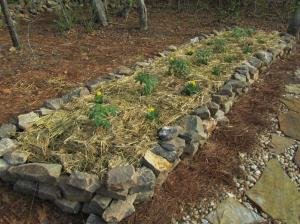We planted our tomatoes in a new raised bed this year along with Marigolds to discourage insects.