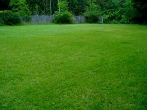 My neighbor's lawn two weeks after I sprayed with Ortho Weed B Gon Chickweed, Clover and Oxalis Killer.