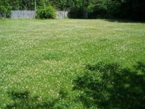 My neighbor's lawn before I sprayed with Ortho Weed B Gon Chickweed, Clover and Oxalis Killer.
