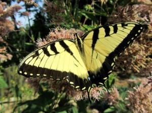 Swallowtail Butterfly on our Joe-Pye Weed