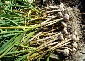 Garlic we harvested in summer that we planted in fall.