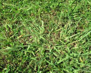 Dallisgrass can be confused with Crabgrass