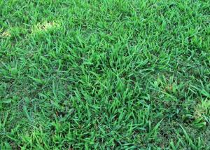Crabgrass (click photo to enlarge)