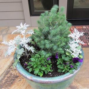 This year we planted an Italian Stone Pine in the center, surrounded by Dusty Miller and Purple Pansies. (Dusty Miller is typically sold as an Annual plant for spring and summer gardens, however we have seen it survive freezing temperatures. It is fun to experiment.)