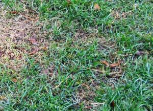 This mixed lawn of Bermuda and Tall Fescue looks patchy because the Bermuda has turned brown as it went dormant for the winter.  The Fescue is green.  Click Picture To Enlarge