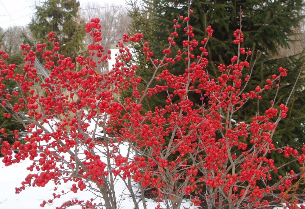 Image result for winterberry bush