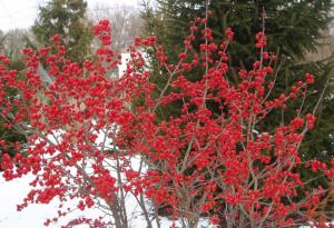 If you decide to plant Winterberries, just know that you will need to plant both male and female plants to get the large quantity of berries you see on this female Winterberry bush at our former home in Ohio.