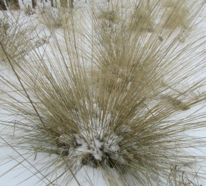 Last week when we had snow here in Atlanta I watched birds eating seed from the clumps of Pink Muhly Grasses in our landscape.  These grass clumps are brown (dormant) this time of year, however there must have been plenty of seed for the birds based on the activity.