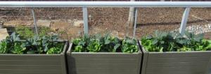 I planted 11 plants in each planter:  3 Toscano Kale, 3 Romaine Lettuce, 3 Buttercrunch Lettuce and 2 Spinach.