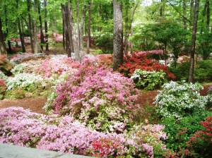 Peak azalea time at Callaway Gardens in Pine Mountain, Georgia  http://www.callawaygardens.com/