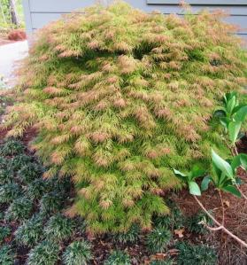 This Japanese Maple is at the corner of our garage