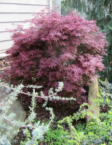 The color on this larger leaf Japanese Maple is outstanding