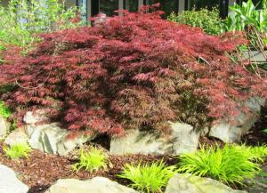 This Japanese Maple spills over rocks on a hill