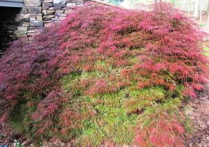 We love the foliage color range on this Japanese Maple