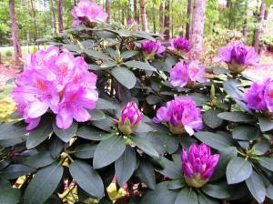Our Rhododendrons are thriving now that they are not being attacked by Lace Bugs!