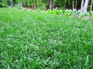 Our three year old Georgia lawn of Scotts Heat-Tolerant Blue Grass Seed is thick, healthy and free of weeds because of regular feedings and a taller mowing height.  (Click picture to enlarge)