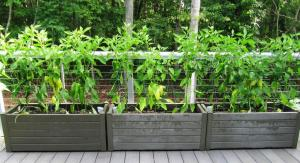 We use small cages to help keep the plants stable with the extra weight of the peppers (click photo to enlarge)