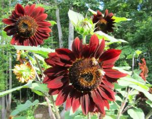 Not only will Sunflowers be loaded with bees and other pollinators, but as the season draws to an end birds will flock to them to eat the seeds.