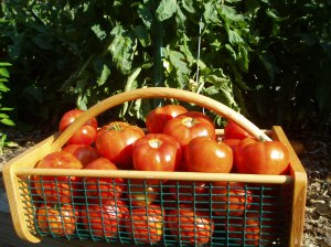 Our Better Boy Tomatoes are sure to make your mouth water!