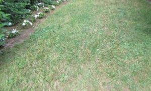 "This 20 year old lawn contains weak grass varieties making it a good candidate for the ""Kill and Replace"" strategy."
