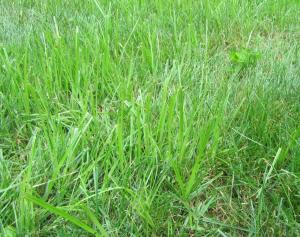 You think you are getting rid of Nutsedge (also called Nutgrass) because it is easy to pull. However, it quickly grows back from the bulb-like roots that are left behind in your soil.