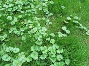 Fall is a great time of year to kill Ground Ivy (also known as Creeping Charlie).