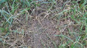 Grass seed should come in contact with your soil.  If it lays on top of dead grass, it is less likely to grow. (Click photo to enlarge)