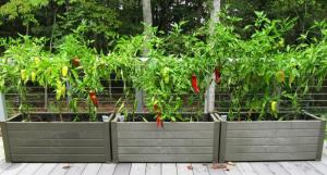 Each planter has a Gypsy pepper plant is in the center and Carmen peppers are on the ends. There are still tons of green peppers on the plants that we will wait to pick after they turn orange and red to get maximum sweetness. (Click photo to enlarge)